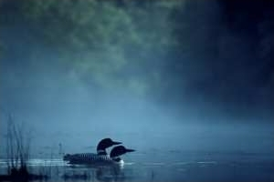 Loons on a Misty Morning