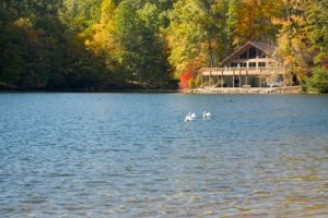 Swans by the Cottage